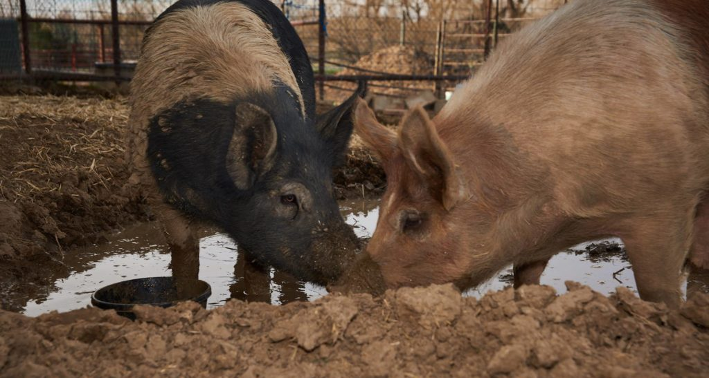 pigs in mud who love vegan drinks for a cause