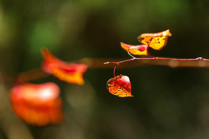 fall color close up aspen leaf