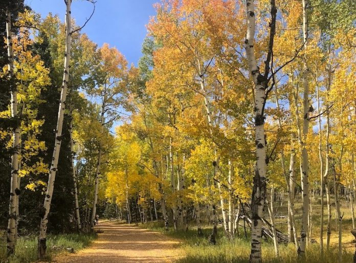 Aspen leaves show gold for fall hikes