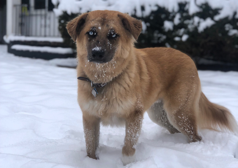 Rocky, a shepherd mix, enjoying snow in Colorado Springs