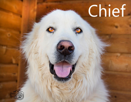 Chief the great Pyrenees, mayoral candidate