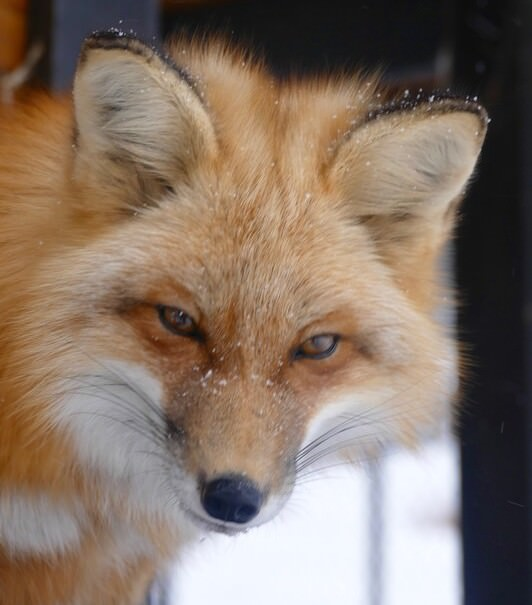 scarlett the fox, mayoral candidate of Divide