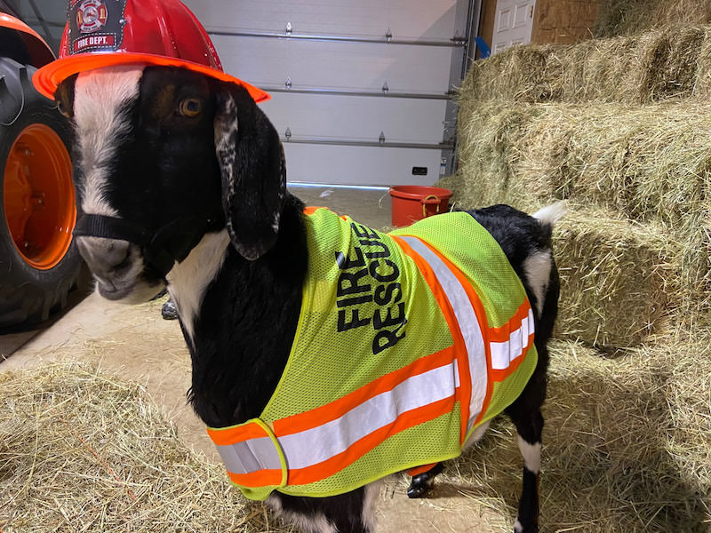 Billy the Goat for mayor