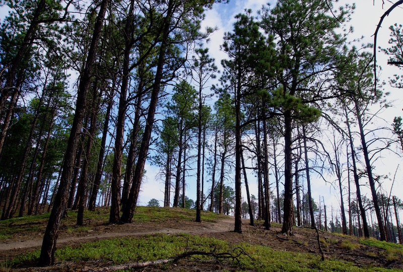 Pine forest in the Pineries Open Space