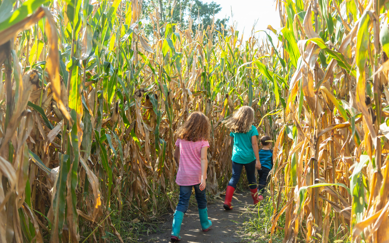 kids walking through a corn maze at one of the pumpkin patches in Colorado Springs
